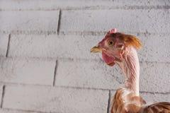 Κεφάλι κοτόπουλου Στοκ εικόνα με δικαίωμα ελεύθερης χρήσης