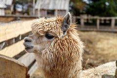 Κεφάλι λάμα ` s, ζωολογικός κήπος επαφών στοκ φωτογραφία με δικαίωμα ελεύθερης χρήσης