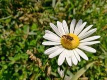 κεφάλι λουλουδιών μαργαριτών με μια μύγα Στοκ εικόνα με δικαίωμα ελεύθερης χρήσης