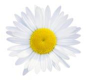 Κεφάλι λουλουδιών μαργαριτών Στοκ Φωτογραφία