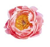 Κεφάλι λουλουδιών που απομονώνεται Στοκ εικόνες με δικαίωμα ελεύθερης χρήσης