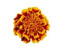 Κεφάλι λουλουδιών που απομονώνεται Στοκ Εικόνες