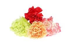 Κεφάλι λουλουδιών του γαρίφαλου Στοκ Φωτογραφίες