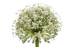 Κεφάλι λουλουδιών του εδώδιμου κρεμμυδιού, lat Allium cepa, που απομονώνεται στο μόριο Στοκ Εικόνες