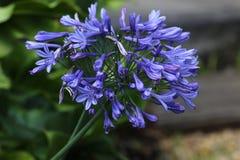 Κεφάλι λουλουδιών Agapanthus στην άνθιση στοκ εικόνα με δικαίωμα ελεύθερης χρήσης