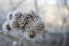 Κεφάλι σπόρων lappa Arctium που καλύπτεται με την άσπρη πάχνη Στοκ Φωτογραφία