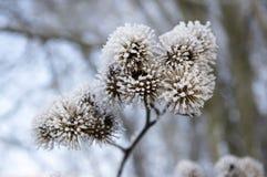 Κεφάλι σπόρων lappa Arctium που καλύπτεται με την άσπρη πάχνη Στοκ φωτογραφίες με δικαίωμα ελεύθερης χρήσης
