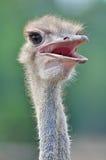 Κεφάλι στρουθοκαμήλων Στοκ φωτογραφία με δικαίωμα ελεύθερης χρήσης