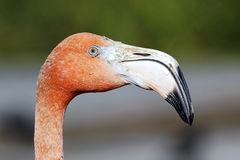 κεφάλι φλαμίγκο Στοκ εικόνα με δικαίωμα ελεύθερης χρήσης