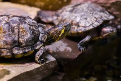 Κεφάλι χελωνών ολισθαινόντων ρυθμιστών του Cumberland στην κινηματογράφηση σε πρώτο πλάνο με μια άλλη χελώνα στο υπόβαθρο στοκ εικόνες με δικαίωμα ελεύθερης χρήσης