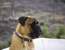 Κεφάλι Bullmastiff   στοκ φωτογραφία με δικαίωμα ελεύθερης χρήσης