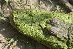 κεφάλι gator Στοκ φωτογραφία με δικαίωμα ελεύθερης χρήσης