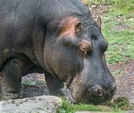 Κεφάλι 1 Hippopotamus Στοκ φωτογραφία με δικαίωμα ελεύθερης χρήσης