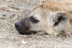 Κεφάλι Hyena Στοκ φωτογραφίες με δικαίωμα ελεύθερης χρήσης