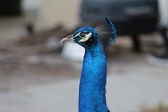 Κεφάλι Peacock, πρώτο πλάνο, ζωηρόχρωμο, φύση, στοκ εικόνα με δικαίωμα ελεύθερης χρήσης