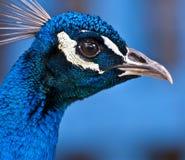 κεφάλι peacock στοκ φωτογραφίες
