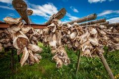 Κεφάλια ψαριών που ξεραίνουν στα ράφια Στοκ Φωτογραφίες