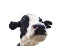 Κεφάλι αγελάδων κινηματογραφήσεων σε πρώτο πλάνο που απομονώνεται στο λευκό Στοκ Εικόνες