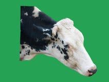 Κεφάλι αγελάδων που απομονώνεται στο πράσινο υπόβαθρο Στοκ φωτογραφία με δικαίωμα ελεύθερης χρήσης