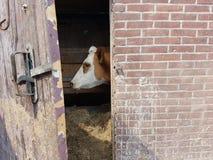 Κεφάλι αγελάδων στη σιταποθήκη Στοκ εικόνα με δικαίωμα ελεύθερης χρήσης