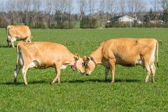 Κεφάλι αγελάδων του Τζέρσεϋ - - κεφάλι Στοκ εικόνα με δικαίωμα ελεύθερης χρήσης