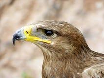 Κεφάλι από έναν αετό Στοκ εικόνες με δικαίωμα ελεύθερης χρήσης
