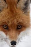 Κεφάλι αλεπούδων Στοκ Εικόνα