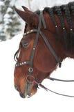 Κεφάλι αλόγου με τις πλεξίδες στο Μάιν Στοκ εικόνα με δικαίωμα ελεύθερης χρήσης