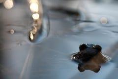 Κεφάλι βατράχων πίσω στο νερό Στοκ Φωτογραφία