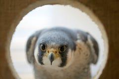 Κεφάλι γερακιών και μάτι κρυστάλλου στη φωλιά Στοκ Εικόνες