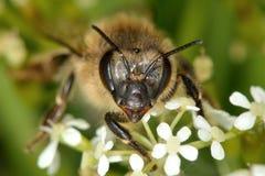 Κεφάλι και πρόσωπο μελισσών μελιού (mellifera Apis) Στοκ φωτογραφία με δικαίωμα ελεύθερης χρήσης