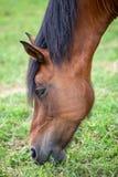 Κεφάλι κινηματογραφήσεων σε πρώτο πλάνο του αλόγου κάστανων που τρώει τη χλόη Στοκ Εικόνα