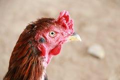 Κεφάλι κοτόπουλου Στοκ φωτογραφία με δικαίωμα ελεύθερης χρήσης