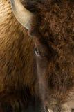 Κεφάλι ματιών βισώνων επάνω στοκ εικόνα με δικαίωμα ελεύθερης χρήσης