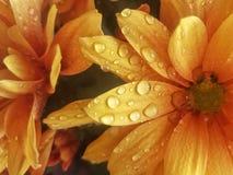 κεφάλι λουλουδιών μια βροχερή ημέρα Στοκ Εικόνα