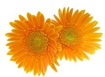 Κεφάλι λουλουδιών της μαργαρίτας του Transvaal Στοκ Φωτογραφίες