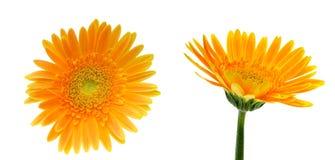 Κεφάλι λουλουδιών της μαργαρίτας του Transvaal Στοκ φωτογραφία με δικαίωμα ελεύθερης χρήσης