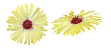 Κεφάλι λουλουδιών της μαργαρίτας livingstone Στοκ Εικόνες