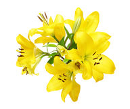 Κεφάλι λουλουδιών του κρίνου Στοκ Εικόνα