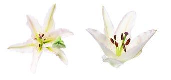 Κεφάλι λουλουδιών του κρίνου Στοκ εικόνες με δικαίωμα ελεύθερης χρήσης