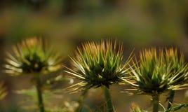 Κεφάλι λουλουδιών του cardunculus Cynara στοκ εικόνα