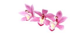 Κεφάλι λουλουδιών του cymbidium Στοκ Εικόνες