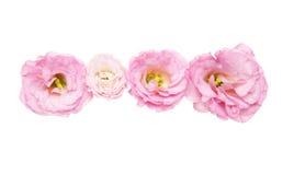 Κεφάλι λουλουδιών του eustoma Στοκ φωτογραφία με δικαίωμα ελεύθερης χρήσης