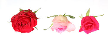 Κεφάλι λουλουδιών των τριαντάφυλλων Στοκ εικόνα με δικαίωμα ελεύθερης χρήσης