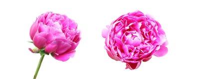 Κεφάλι λουλουδιών peony Στοκ Φωτογραφία