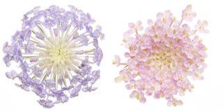 Κεφάλι λουλουδιών pincushion των λουλουδιών Στοκ φωτογραφία με δικαίωμα ελεύθερης χρήσης