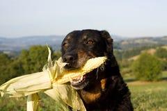 Κεφάλι σκυλιών με το καλαμπόκι στο στόμα Στοκ Φωτογραφίες