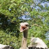 Κεφάλι στρουθοκαμήλων με το ράμφος ανοικτό Στοκ φωτογραφία με δικαίωμα ελεύθερης χρήσης