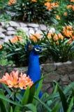 Κεφάλι της Dolores Olmedo Museo του peacock DF Πόλη του Μεξικού στοκ εικόνες