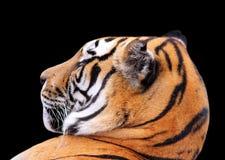 Κεφάλι τιγρών στο σκοτεινό υπόβαθρο Στοκ εικόνα με δικαίωμα ελεύθερης χρήσης